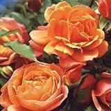 バラ苗 ディズニーランドローズ 国産新苗4号ポリ鉢 フロリバンダ(FL) 四季咲き中輪 複色系