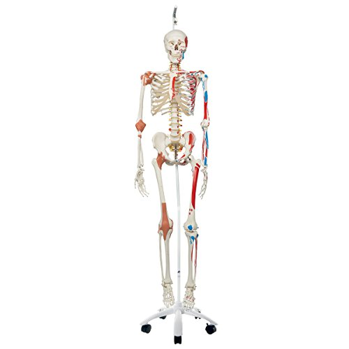 """3B Scientific A13/1 Plastic Super Human Skeleton Model """"Sam"""" - Flexible With Muscles And Ligaments On A Hanging Stand, 73.2"""" Height"""
