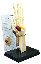 GPI Anatomical Hand & Wrist Joint Model