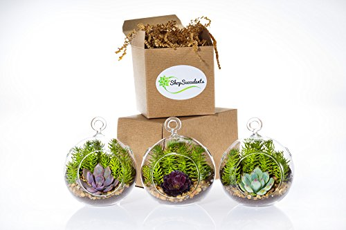 Shop Succulents Miniature Succulent Garden Trio