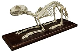Cat Skeleton (Natural Bone Economy)