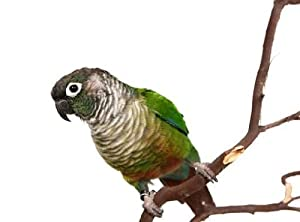 Animal Wall Decals Green Cheek Conure on a Tree Branch Isolated - 30 inches x 22 inches - Peel and Stick Removable Graphic