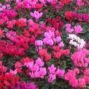 Cyclamen - outdoors