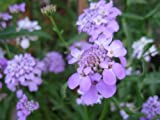 Premier Seeds Direct CAN02F Candytuft Iberis Umbellata Dwarf Fairy Mix Seeds (Pack of 500)