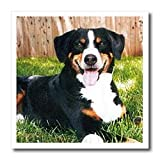 Appenzeller Mountain Dog - 10x10 Iron On Heat Transfer For White Material