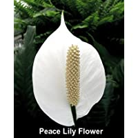 Hirt's Peace Lily Plant - Spathyphyllium - Great House Plant -Grows in Low Light