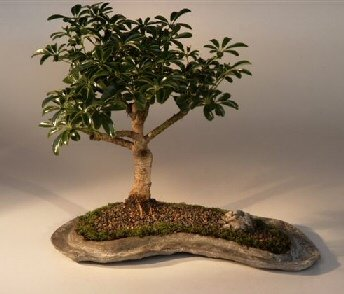 Buy Hawaiian Umbrella Bonsai Tree on a Rock Slab.(arboricola schefflera)