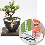 母の日に贈るかわいいミニ長寿梅の盆栽とはじめて道具セット