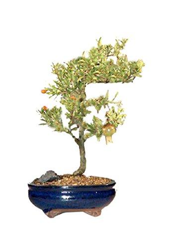 Bonsaiboy Flowering Dwarf Pomegranate - Medium Punica Granatum