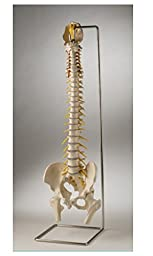 Plastic Human vertebral column with stand