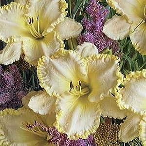 Hemerocallis - Marque Moon Daylily