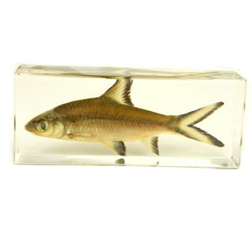 "Bala Shark Fish Paperweight (4.4x1.6x1.1"")"