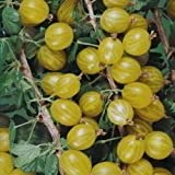 Soft Fruit Plants-Gooseberry Bush 'Hinnonmaki Yellow'