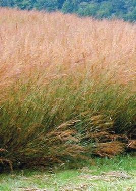indian-grass-sorghastrum-nutans-400-certified-pure-live-seed-true-native-seed