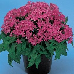 Buy Pentas New Look Rose – Park Seed Pentas Seeds
