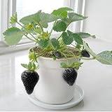 Schwarze Erdbeere 50 Samen süss und saftig ABSOLUTE RARITÄT