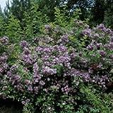 Rambler Rose 'Veilchenblau' A-Qualität Wurzelware