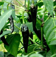 black-devil-chilli-10-seeds-rare-and-very-hot