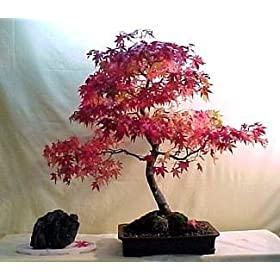Oshio Beni Japanese Maple 7 Seeds - Acer - Bonsai - FREE SHIPPING ON ADDITIONAL HIRTS SEEDS ORDERED & PAID WITH ONE PAYMENT!