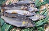 天然仕立養殖鮎 生鮎 1Kg