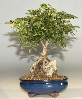 Buy Hawaiian Umbrella Bonsai Tree Roots Growing Over Rock, Large.(Arboricola Schefflera)