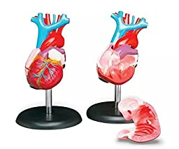 APHRODITE Life-Size Human Heart Anatomical Model With Stand and Guide
