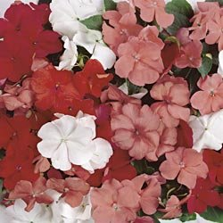 Buy Impatiens Sunny Lady Tropical Fruit Mix Hybrid – Park Seed Impatiens Seeds