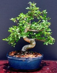 Chinese Elm Bonsai Tree by Sheryls Shop