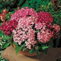 Buy Pentas New Look Mix – Park Seed Pentas Seeds