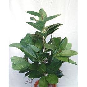 Rubber Plant - 150cm
