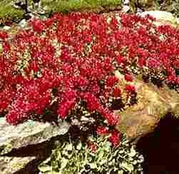 100 Dragon's Blood Sedum Seeds By Seed Needs