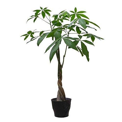 oumosi-10-pcs-lot-braid-pachira-big-money-tree-seeds-bonsai-tree-seeds-indoor-ornamental-plants-home