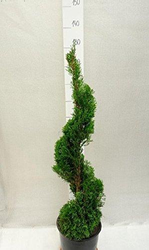spirale formschnitt lebensbaum thuja occidentalis. Black Bedroom Furniture Sets. Home Design Ideas
