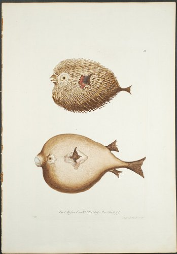 Art two puffer fish engraving georg for Puffer fish price