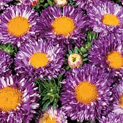 Buy China Aster Matsumoto Violet Striped – Park Seed Aster Seeds
