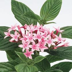Pentas Kaleidoscope Appleblossom Hybrid - Park Seed Pentas Seeds - Buy Pentas Kaleidoscope Appleblossom Hybrid - Park Seed Pentas Seeds - Purchase Pentas Kaleidoscope Appleblossom Hybrid - Park Seed Pentas Seeds (Park Seed, Home & Garden,Categories,Patio Lawn & Garden,Plants & Planting,Outdoor Plants)