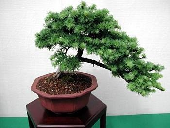 Japanese White Larch 20 Seeds -Larix leptolepsis-Bonsai - FREE SHIPPING ON ADDITIONAL HIRTS SEEDS ORDERED AND PAID WITH ONE PAYMENT - Buy Japanese White Larch 20 Seeds -Larix leptolepsis-Bonsai - FREE SHIPPING ON ADDITIONAL HIRTS SEEDS ORDERED AND PAID WITH ONE PAYMENT - Purchase Japanese White Larch 20 Seeds -Larix leptolepsis-Bonsai - FREE SHIPPING ON ADDITIONAL HIRTS SEEDS ORDERED AND PAID WITH ONE PAYMENT (Hirt's, Home & Garden,Categories,Patio Lawn & Garden,Plants & Planting,Outdoor Plants,Vegetables,Tomatoes)