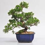 鉢植えギフトにミニ盆栽 真柏 しんぱく 初心者 育てられる【管理方法冊子と肥料付き】