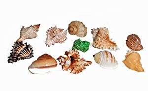 Florida Marine Research SFM34332 12-Pack Hermit Crab Shell, Large