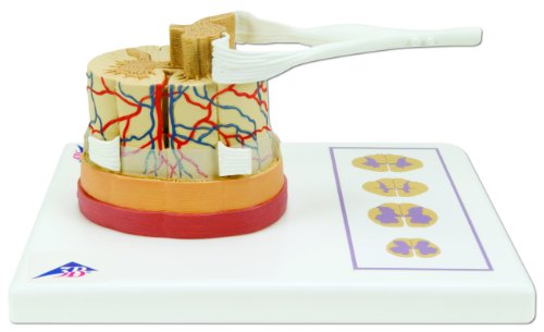 3B Scientific C41 Spinal Cord Model, 5 Times Life Size, 10.2