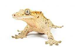 Wallmonkeys WM230635 Crested Gecko on White Background Peel and Stick Wall Decals (24 in W x 16 in H)