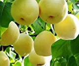 (Sweet Pear S857) Sweet Pear Fruit Seeds, 30 Tree Seeds