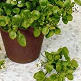Cress - American/Land Cress - 40g Seeds
