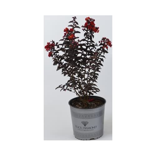 Amazon.com : 3 Gallon - Red - Black Diamond Crape Myrtle : Shrub
