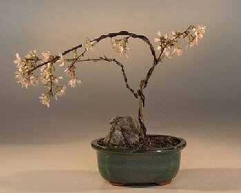 Buy Japanese Flowering Cherry Bonsai Tree.(prunus serrulata)