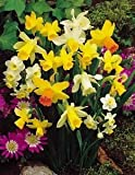 50 Mixed Miniature Daffodil/Narcissus Bulbs Dwarf Special Mixture Perennial
