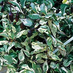 Ornamental Pepper Variegated - Park Seed Pepper Seeds - Buy Ornamental Pepper Variegated - Park Seed Pepper Seeds - Purchase Ornamental Pepper Variegated - Park Seed Pepper Seeds (Park Seed, Home & Garden,Categories,Patio Lawn & Garden,Plants & Planting,Outdoor Plants,by Moisture Needs,Regular Watering)