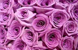 150 Long-stem Lavender Roses From South America (Wholesale) | 26-inch Stems | 150 Stems | Weddings, Anniversaries, or Party Decorations