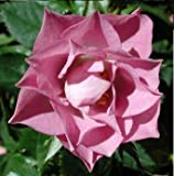 Aztec Gold Rose Bush Flower Seeds