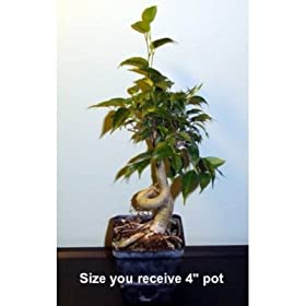 Stylized Weeping Fig Starter Live Bonsai Tree - Indoor